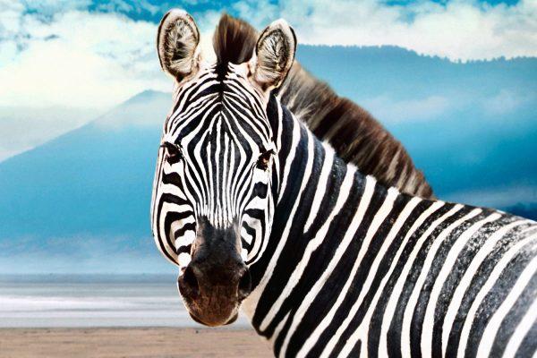 Africa.Tanzania.Animales.Cebra