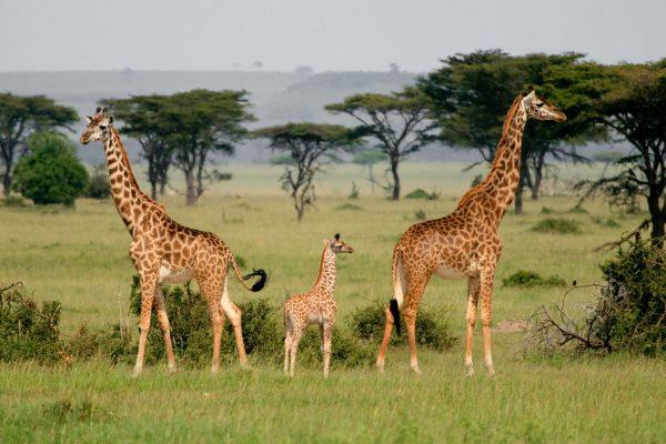 Africa.Animales.Jirafas.Acacias.ViajeFamilia