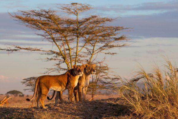 Africa.Tanzania.Serengeti.Paisaje.León.Leona_.Puestasol