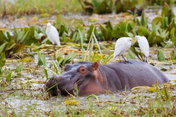 Africa.Tanzania.Tarangire.Animales.Hipopótamo