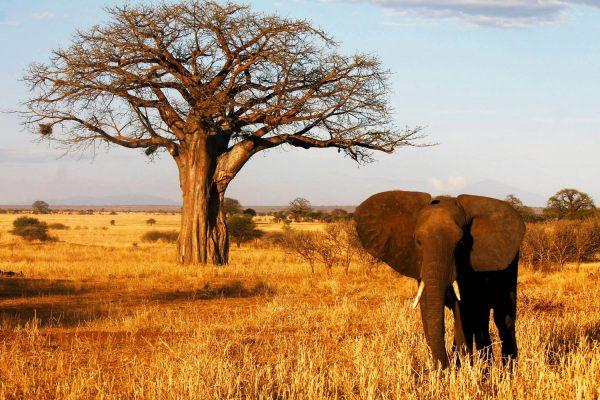 Africa.Tanzania.Tarangire.Elefante.Baobab