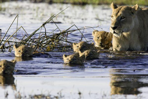 Africa_Botswana_Okavango_Animal_Leones_Rio